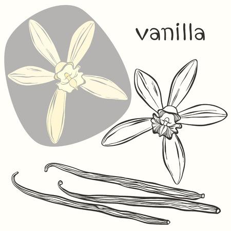 flor de vainilla: Vainas y flores de vainilla. Dibujado a mano ilustración vectorial, puede ser utilizado como un elemento de diseño.