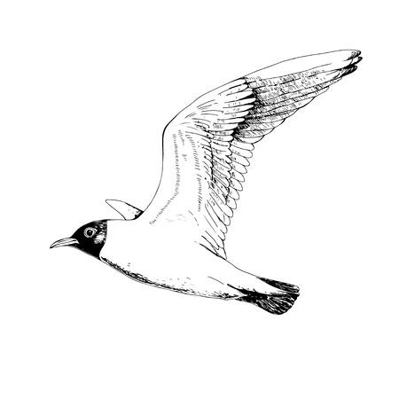 Seagulls. Hand drawn vector llustration, realistic sketch.