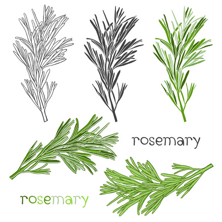 potherb: Set of rosemary  isolated on white background.