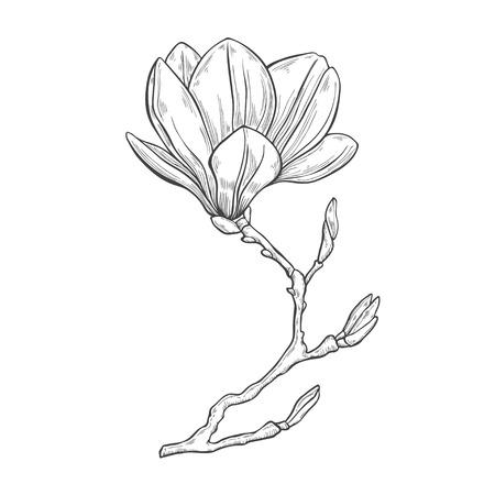 マグノリア。手の白い背景に描かれたベクトル イラスト、スケッチします。デザインの要素。  イラスト・ベクター素材