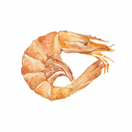 Shrimp isolated on a white background.Vector, watercolor hand drawn  illustration.