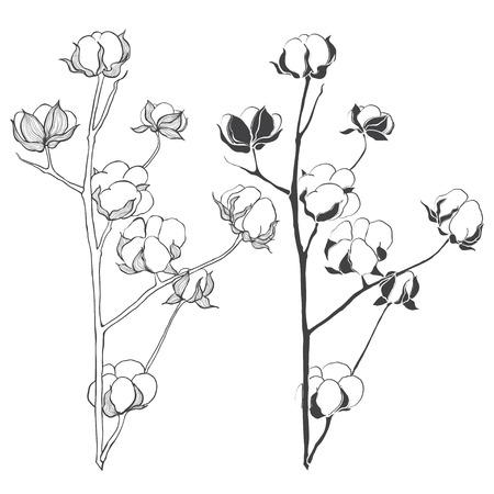 agricola: Conjunto de algod�n aisladas sobre fondo blanco. Mano ilustraci�n vectorial dibujado, dibujo. Elementos para el dise�o.