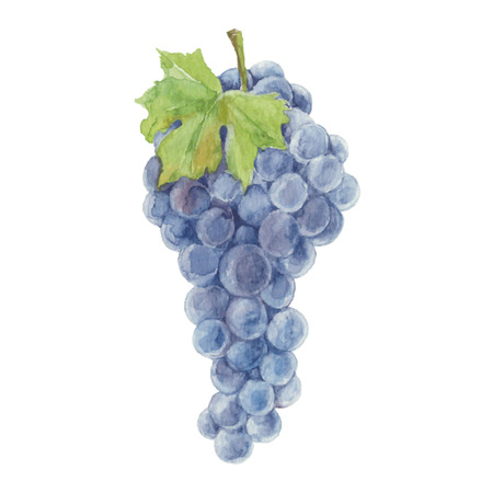 Grapes isolated on a white background.Vector, watercolor hand drawn  illustration. Illustration