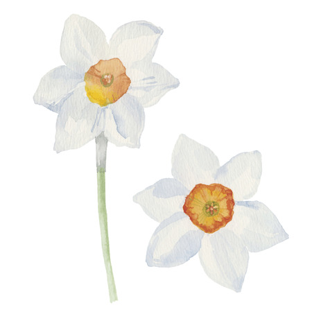 sepal: Spring flowers narcissus isolated on white background. Vector, watercolor hand drawn  illustration. Illustration