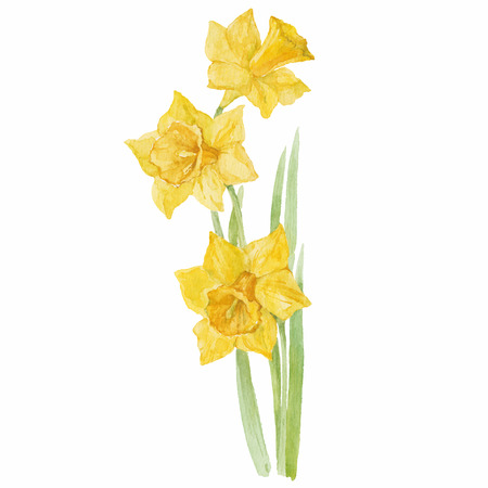Spring flowers narcissus isolated on white background. Vector, watercolor hand drawn  illustration. Vectores