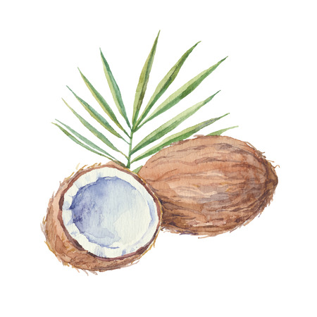 coconut leaf: Coconut isolated on a white background.Vector watercolor hand drawn illustration.