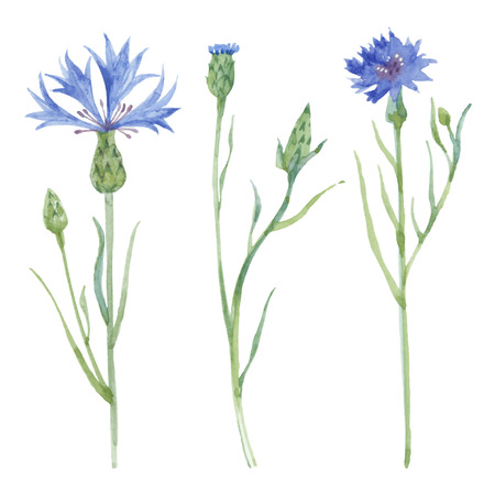 Watercolor cornflower set. Cornflower isolated on white background. Vector illustration.