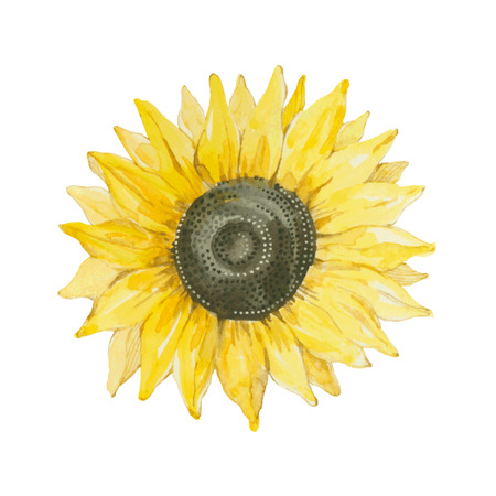 sunflower isolated: Sunflower isolated on a white background.Vector watercolor hand drawn illustration. Illustration