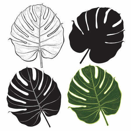 monstera: set of palm leaves isolated on white background.