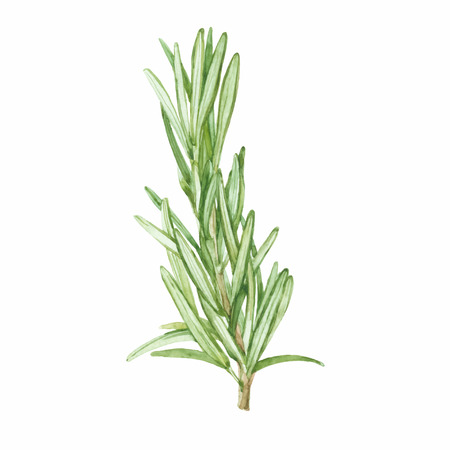 twig: Rosemary isolated on white background.