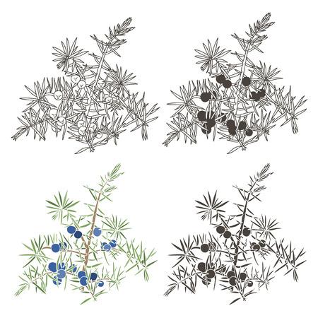 ジュニパーのベクトルを設定します。手描きイラスト、白い背景の上の設計のため隔離された要素。
