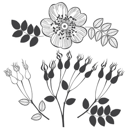 dogrose: Set of dogrose isolated on white background. Hand drawn vector illustration, sketch. Elements for design. Illustration