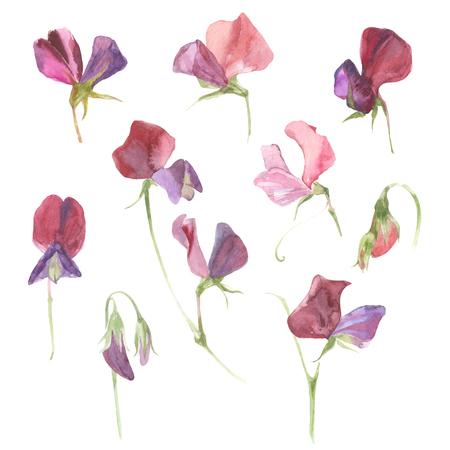 甘いエンドウ豆。花の水彩画を設定します。花は、白い背景で隔離。