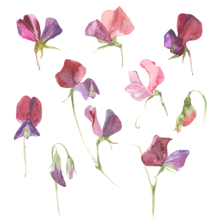 Sweet peas. Watercolor floral set. Flowers isolated on white background.