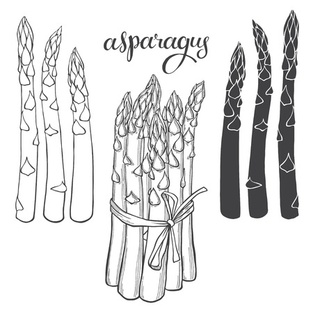 Asparagus. Vector illustration, sketch on a white background. Isolated vector hand-drawn elements for your design.