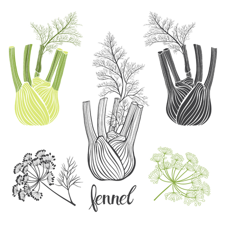 Fennel, isolated vector elements on a white background.