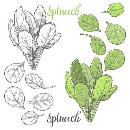 Spinazie. Hand getrokken vector illustratie, schets. Elementen voor het ontwerp.