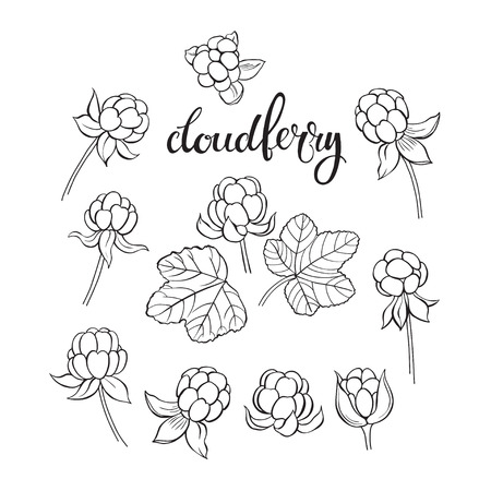 wildberry: Cloudberry. Vector hand-drawn illustration on a white background. Collection of isolated outline elements for design.