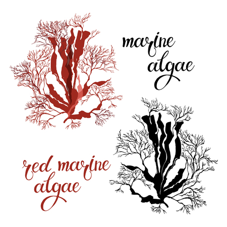 nori: Red marine algae. Vector illustration on white background. Two different color variants. Isolated elements for design.