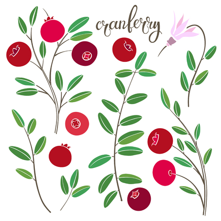 wildberry: Cranberry. Vector hand-drawn illustration on a white background. Collection of isolated elements for design. Illustration