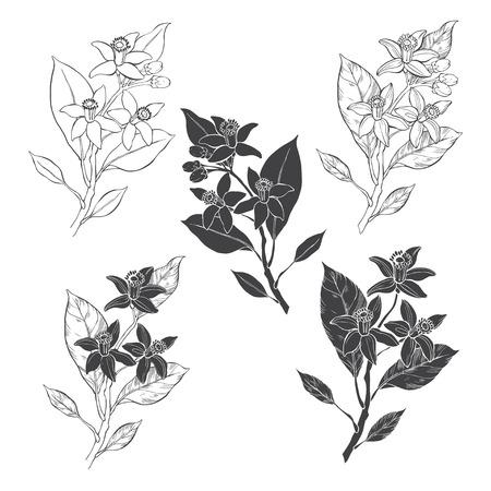 Fioritura arancione. Fiori neroli Illustrazione vettoriale di cinque diversi elementi isolati per il design. Elementi floreali disegnati a mano su sfondo bianco. Vettoriali