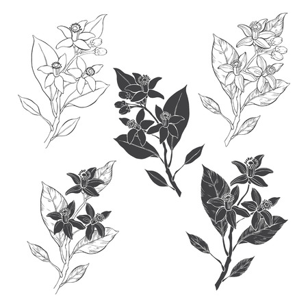 Blooming orange. Flowers neroli. Vector illustration of five different isolated elements for design. Hand-drawn floral elements on white background.