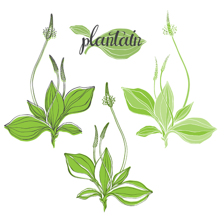 Plantain medicinal plant wild field flower sketch. Hand drawn vector illustration, isolated floral elements for design on white background.