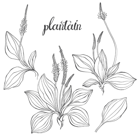 Plantain medicinal plant wild field flower sketch. Hand drawn outline vector illustration, isolated floral elements for design on white background.