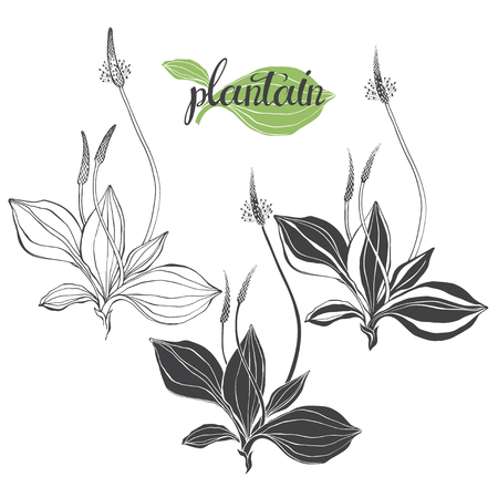 Plantain. Medicinal plant wild field flower.Sketch.Hand drawn vector illustration, isolated floral elements for design on white background. Illustration
