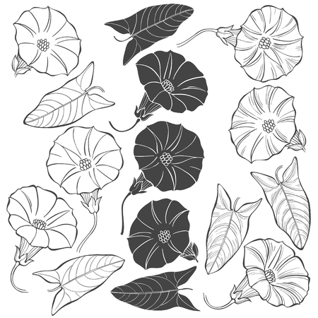 Bindweed.Sketch.Hand drawn silhouette and outline vector illustration, isolated floral elements for design on white background.