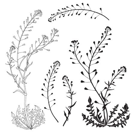 Capsella flower, Shepherd's purse, Capsella bursa-pastoris. Medicinal plant wild flower field.Sketch.Hand drawn for design on white background.