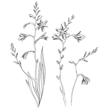 Crocosmia or montbretia. Floral pattern for design on white background. Medicinal plant wild field flower.Sketch. Standard-Bild - 110681152