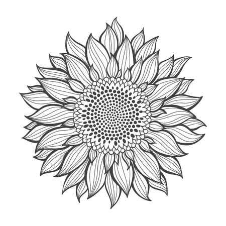 Sunflowers isolated on white background. Botanical vector illustration. Contour drawing.