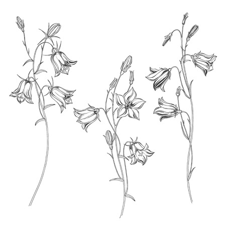 Set of flowers campanula,  isolated on white background. Black and white vector illustration. Outline.