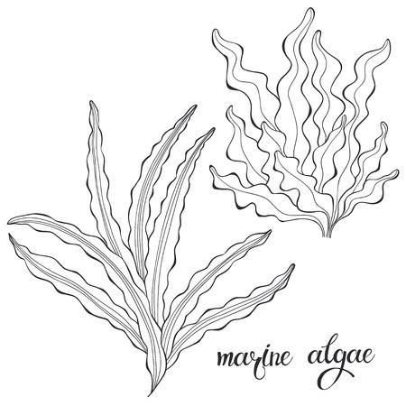 Marine algae. Vector illustration,  isolated elements.