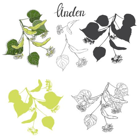 Linden branch isolated on white background. Vector illustration.Silhouette and outline. Illustration