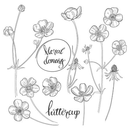 Buttercups isolated on white background. Black and white vector illustration. Outline.