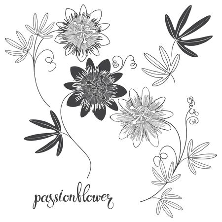 Passionflower isolated on white background. Black and white vector illustration. Silhouette and outline.