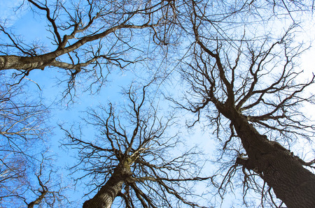 sky brunch: Black leafless trees silhouettes over blue sky.
