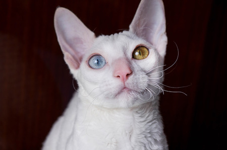 cornish rex: Portrait of white Cornish Rex Cat on Brown Background