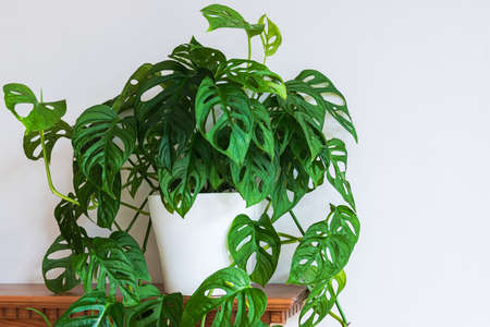 Lush green Swiss cheese plant (monstera adansonii) with fenestrations indoor. Attractive houseplant detail against white backdrop.
