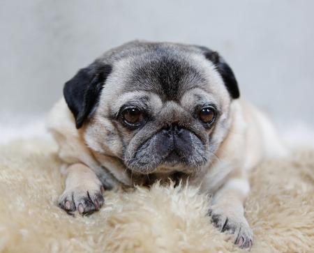 carlin: Sleepy pug