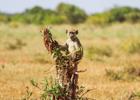Baboon baby on tree.  Tsavo East park, Kenya.