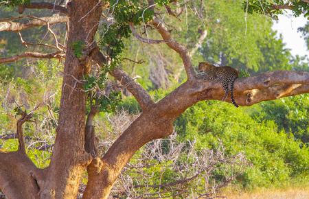Leopard resting on a tree. Tsavo East, Kenya.