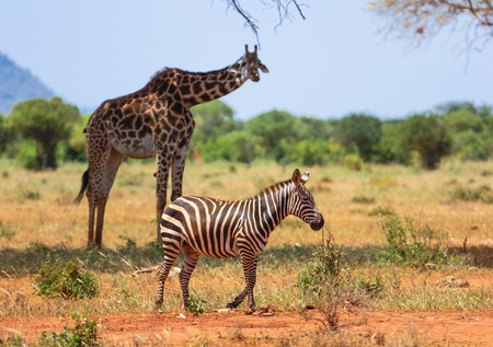 Zebra and giraffe in Tsavo East, Kenya. Stock Photo