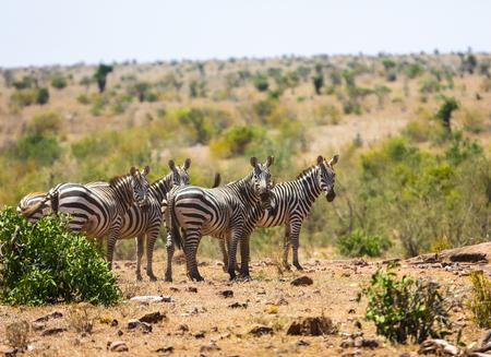 Wild zebras on savanna in Tsavo West National Park, Kenya, East Africa