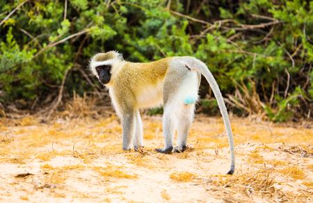 testicles: Vervet monkey