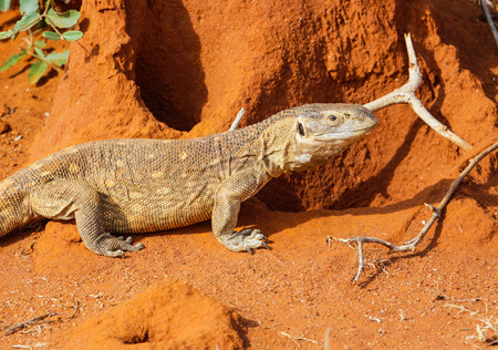 Lizard Savannah monitor in a Tsavo East. Kenya. Stock Photo