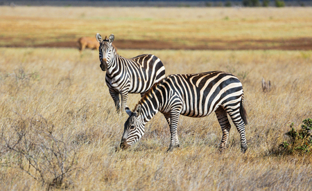 Wild zebras on savanna