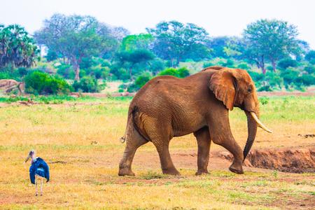 game drive: Elephants in  Kenya.